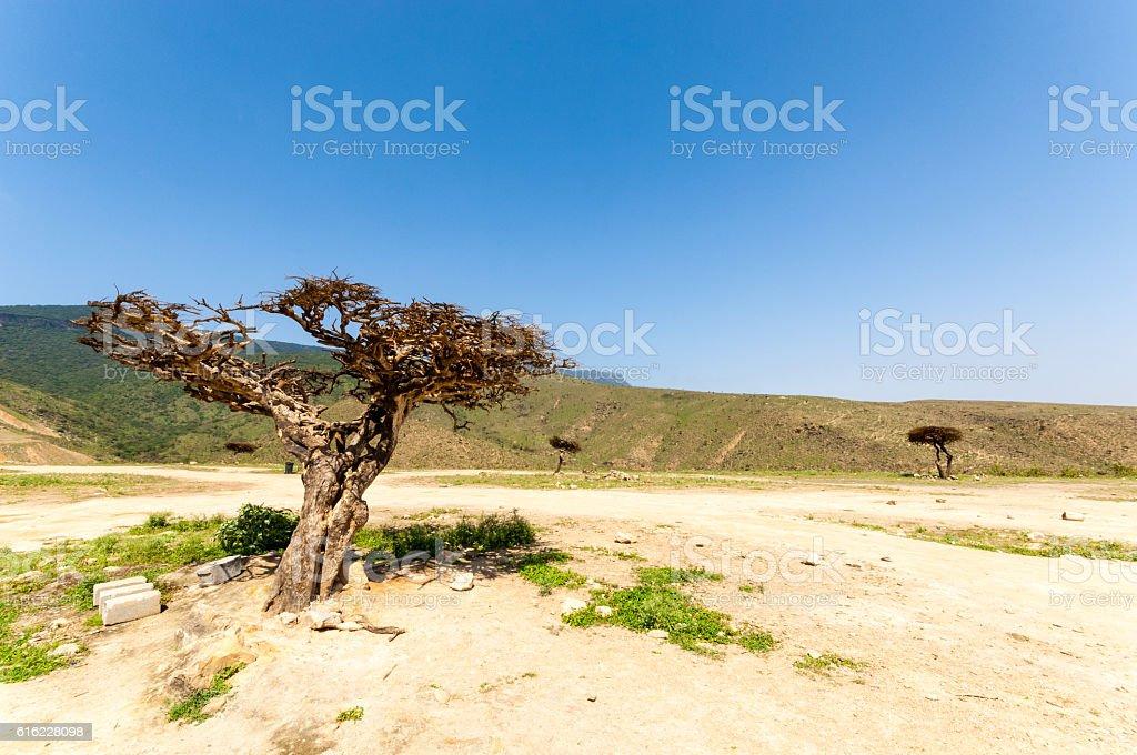 Salalah, Oman, Frankincense tree stock photo
