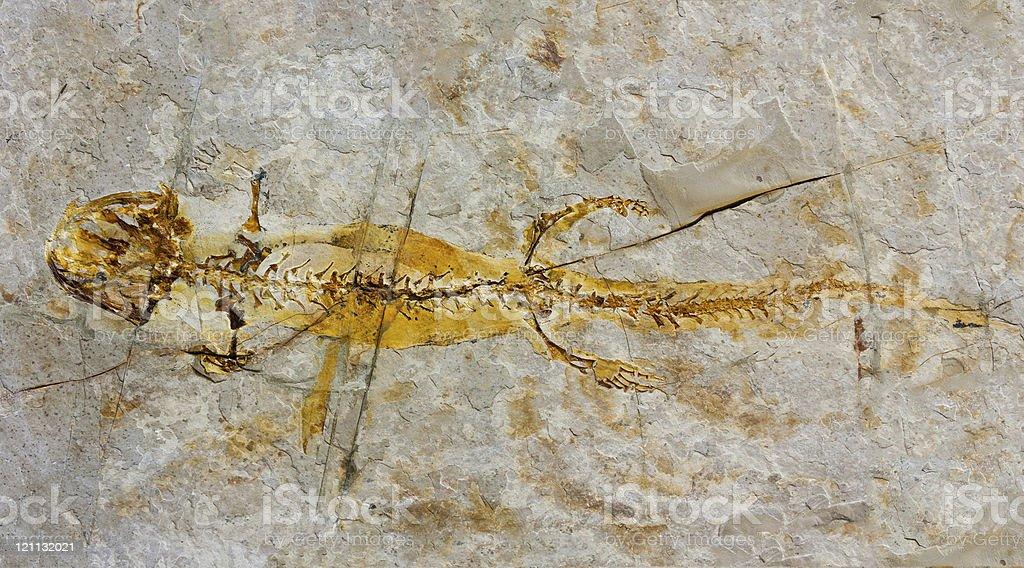 Salamander fossil royalty-free stock photo