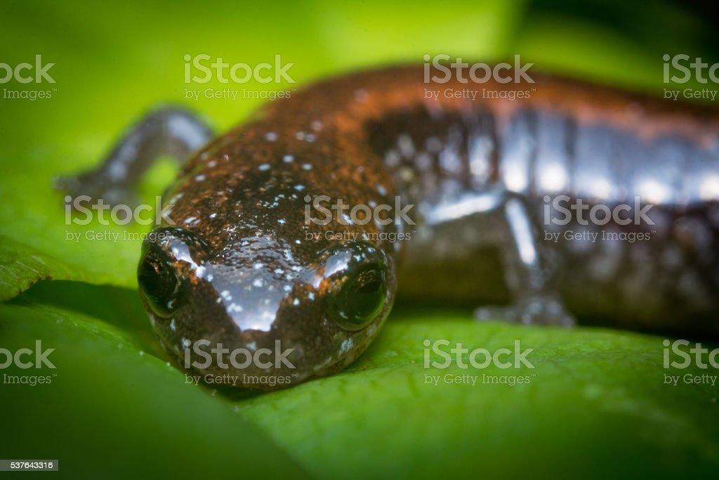 Salamander Green Leaf stock photo