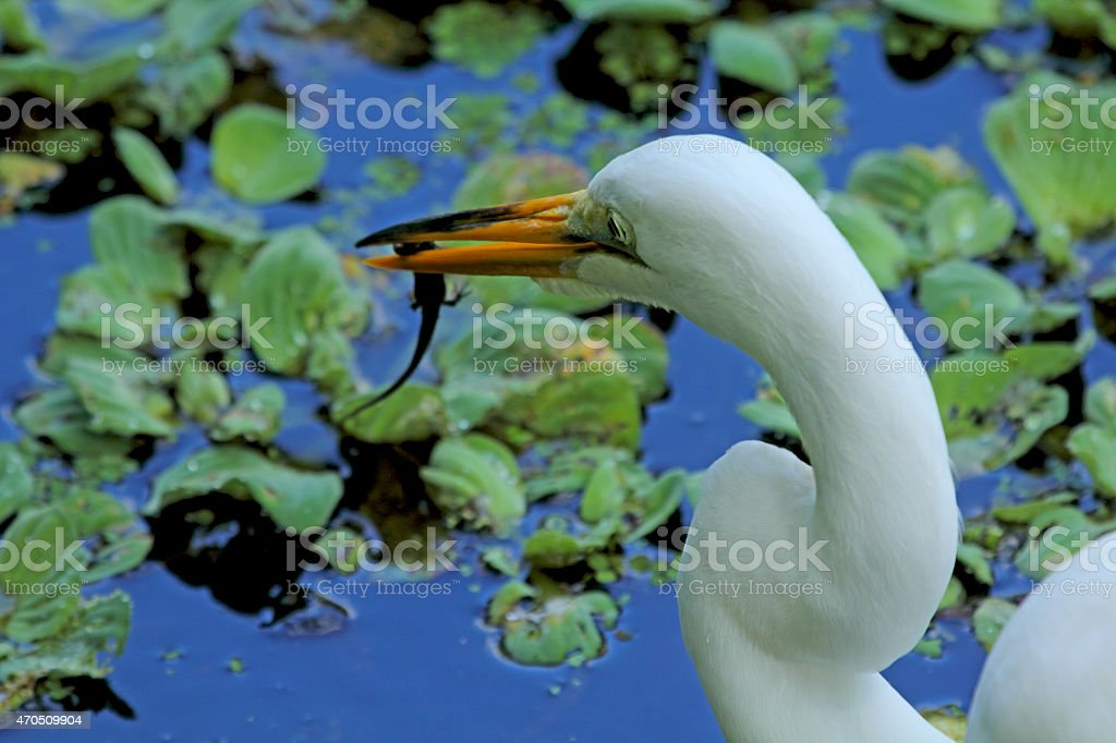 Salamander in the bill of an egret in Florida. stock photo