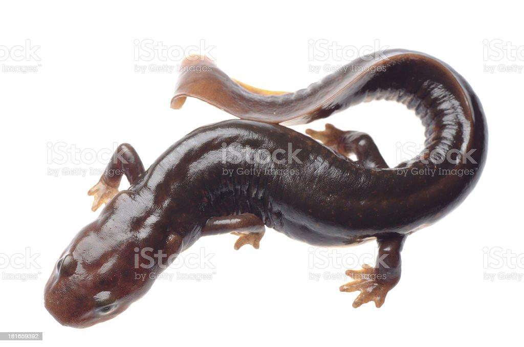 salamander newt stock photo