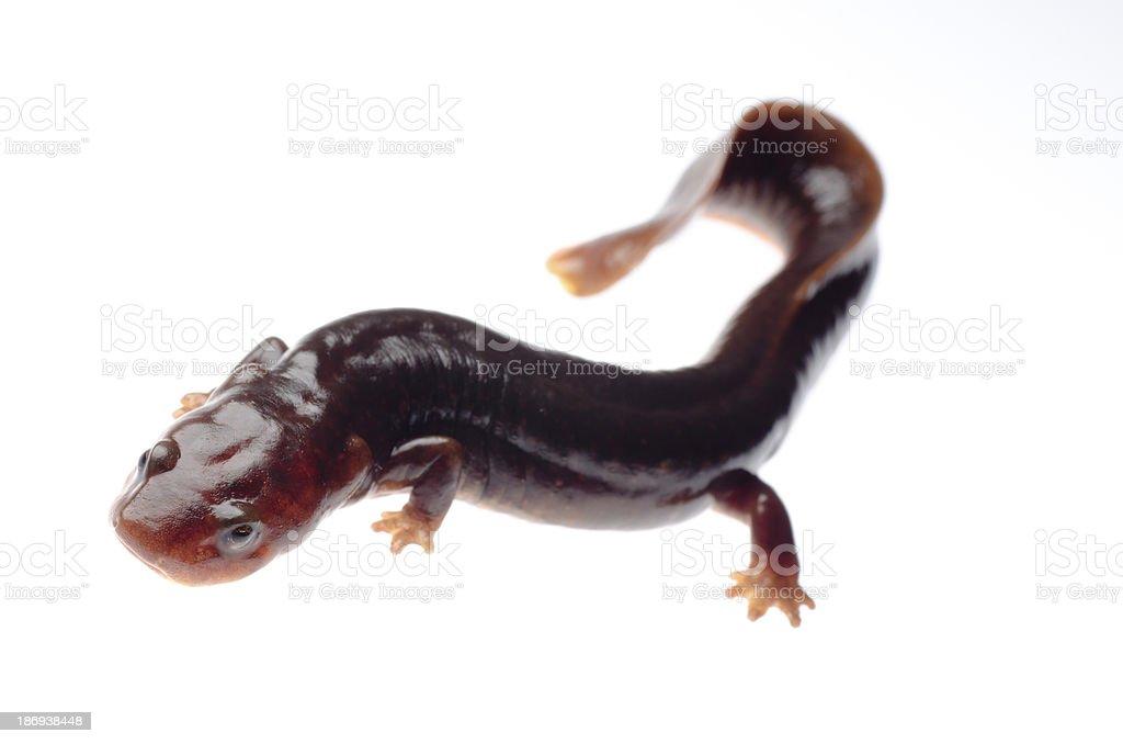 salamander newt royalty-free stock photo