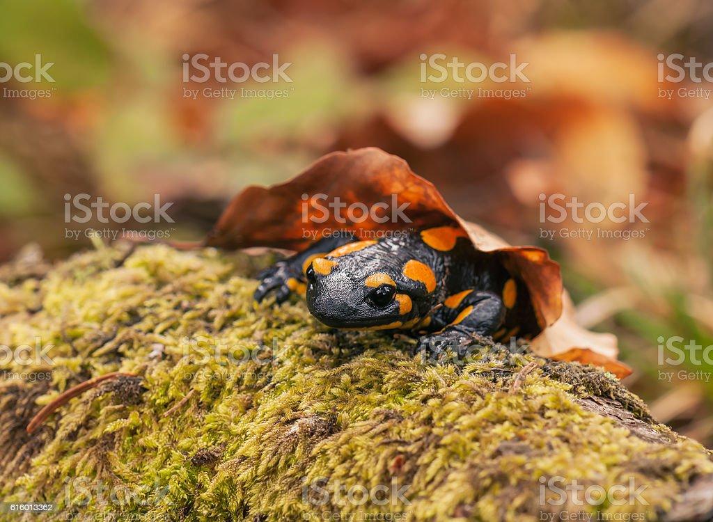 salamander on the moss stock photo