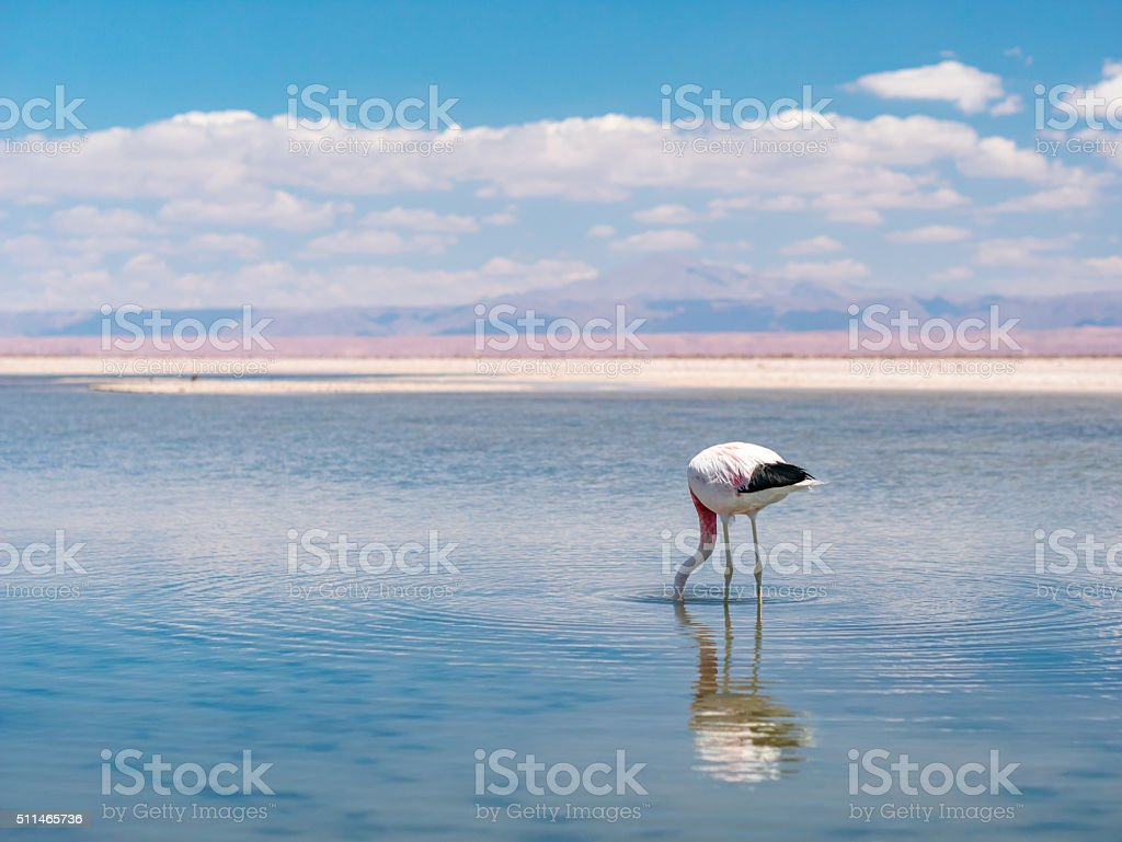 Salar de Atacama Laguna Chaxa royalty-free stock photo