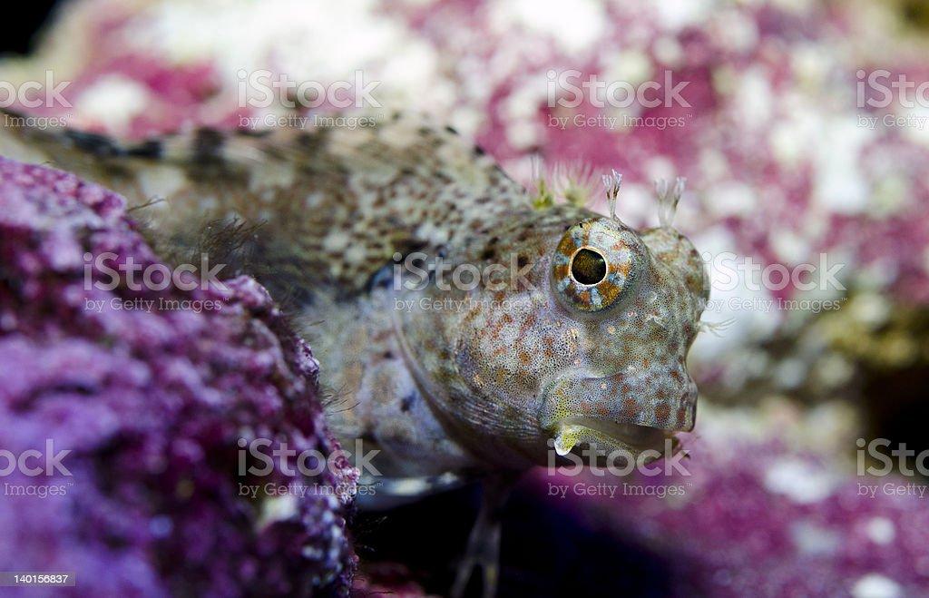Salarias fasciatus stock photo