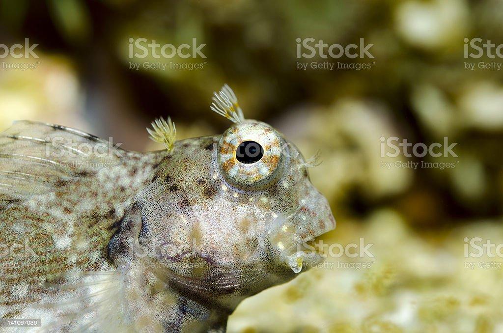 Salarias fasciatus-close up stock photo