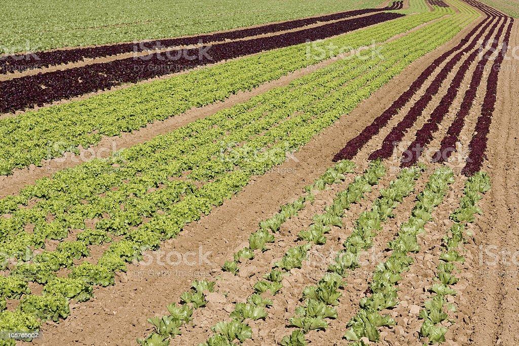 Salatfeld stock photo