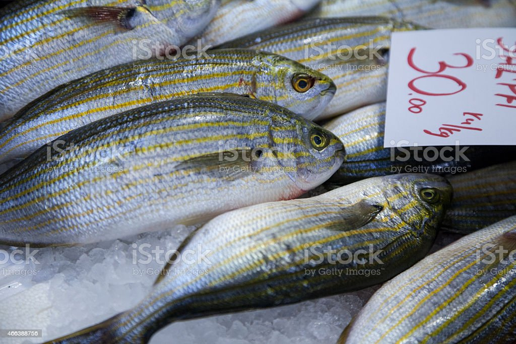 Salema porgy fish stock photo