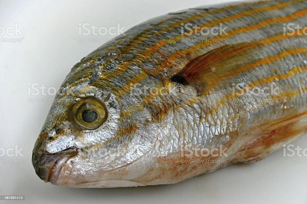 Salema porgy fish (sarpa salpa) stock photo