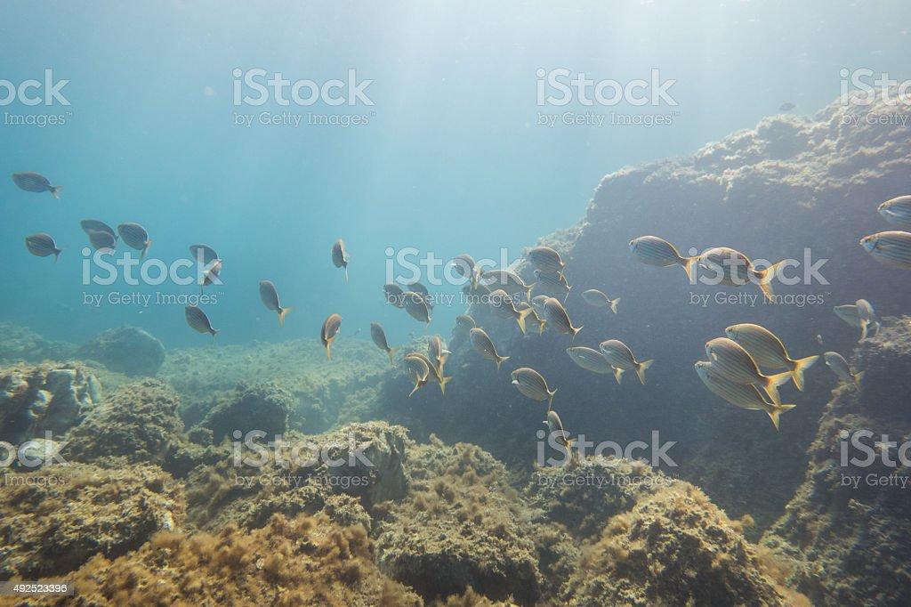 Salema porgy salpa sarpa group ocean dive underwater fish sun stock photo