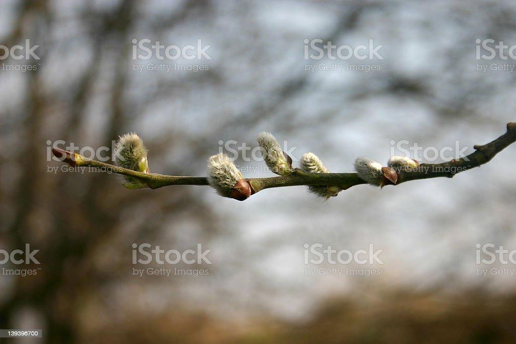 Salix caprea ロイヤリティフリーストックフォト