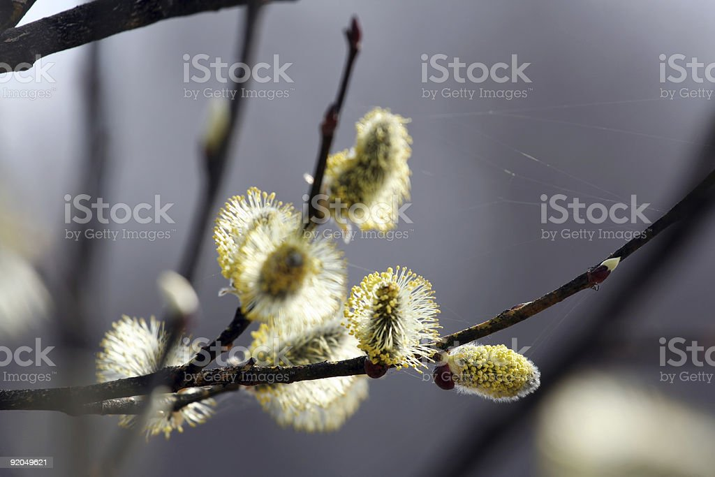 Salix caprea stock photo
