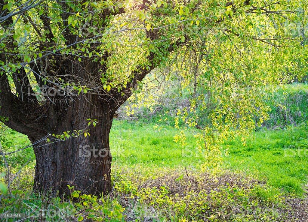 Salix fragilis. stock photo