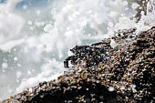Sally Lightfoot Crab in splashing water