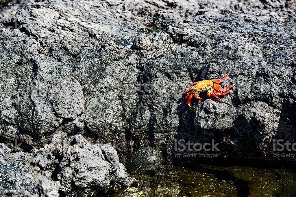 Sally Lightfoot Crab on black lava rocks stock photo