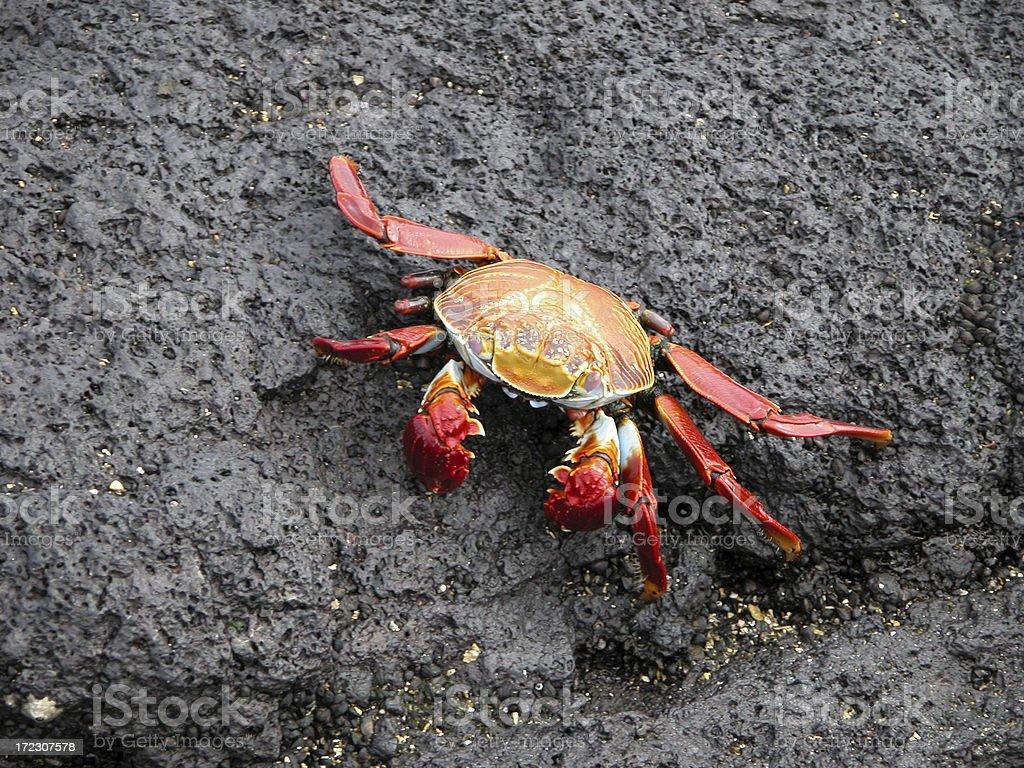 Sally Lightfoot Crab stock photo