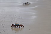Sally Lightfoot crabs in the Galapagos