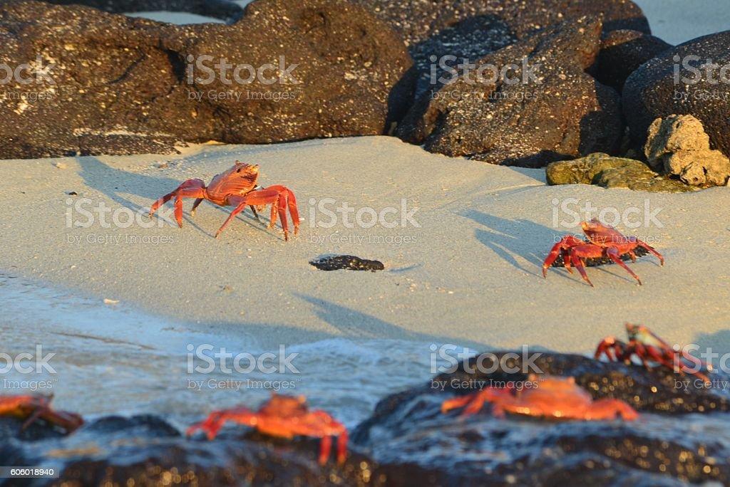 Sally Lightfoot Crabs on Beach stock photo
