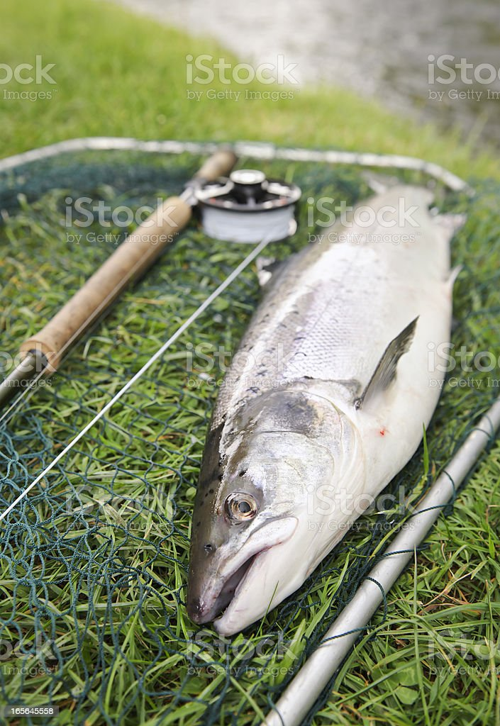 Salmon Catch Fresh from the River royalty-free stock photo