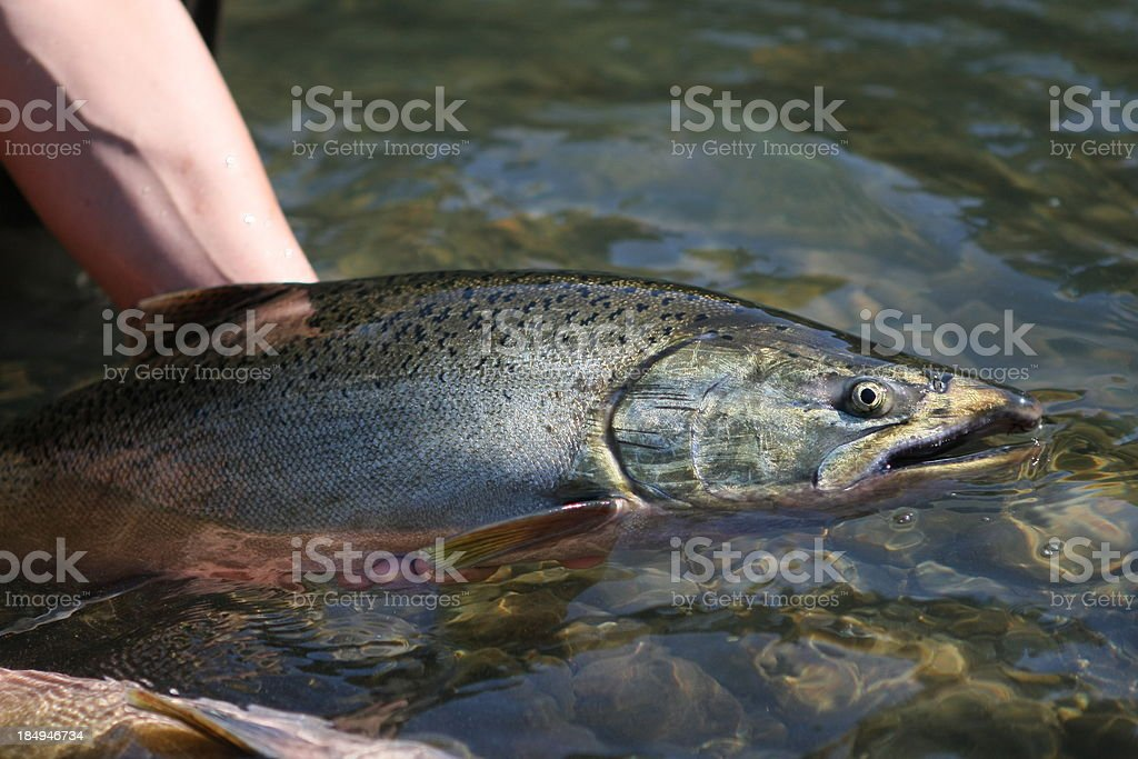 Salmon Caught stock photo