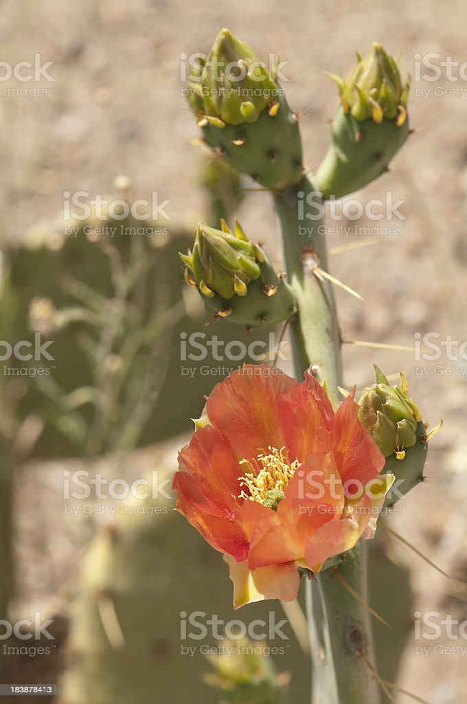 Salmon Colored Prickly Pear Bloom and Buds royalty-free stock photo