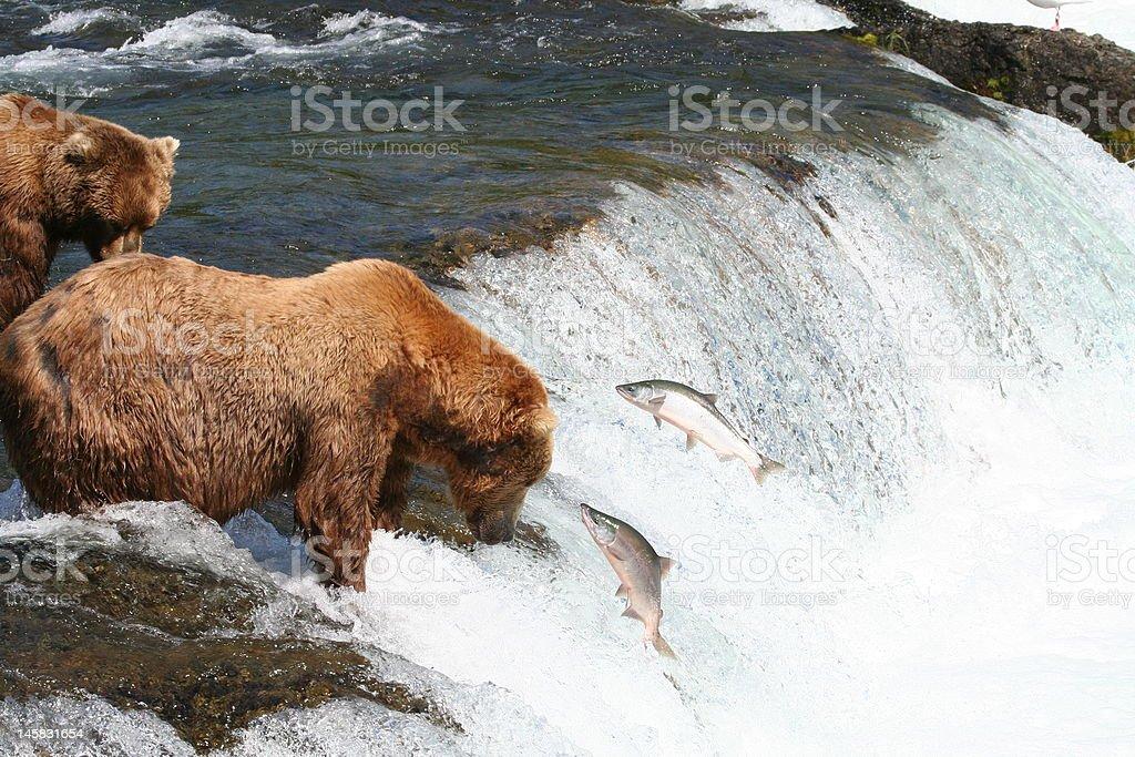 Salmon evading brown bear at Brooks Falls, Alaska. stock photo