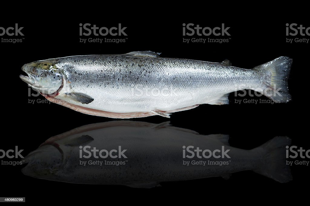 salmon fish against black background royalty-free stock photo