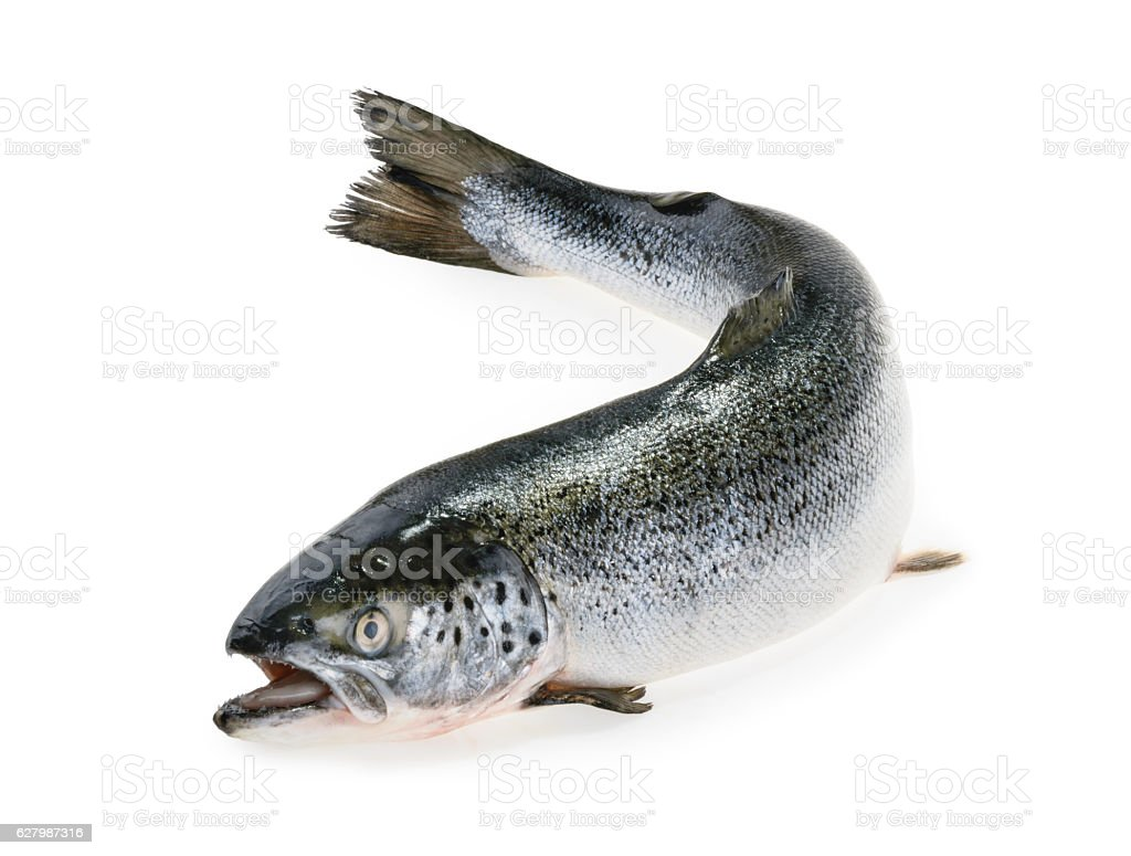 Salmon fish isolated on white stock photo