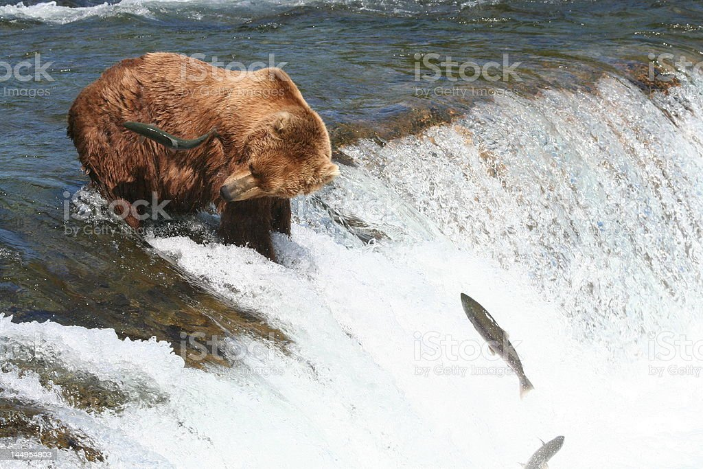 Salmon flies by the hungy brown bear royalty-free stock photo