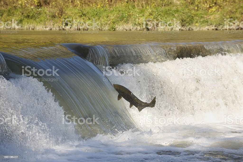 Salmon in mid-air. stock photo