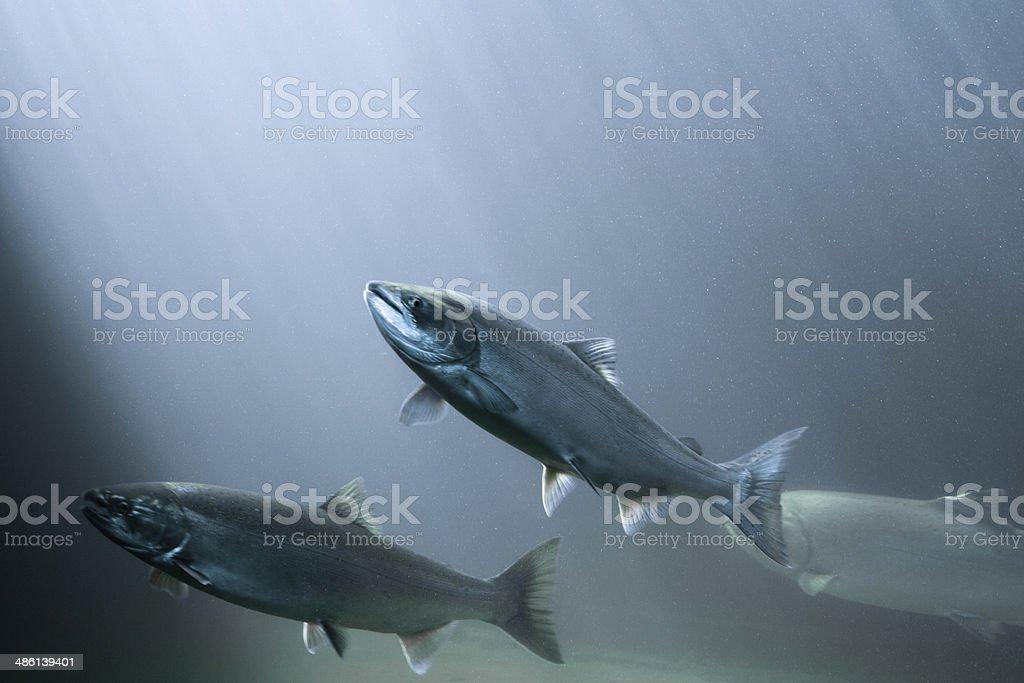 Salmon in rays of light stock photo