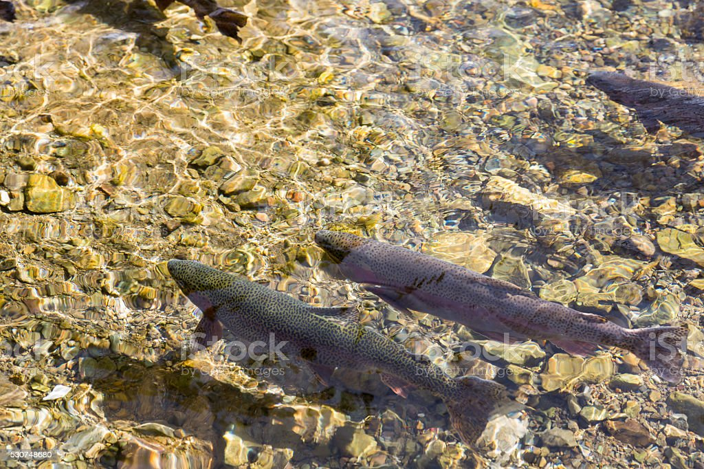 Salmon in river stock photo