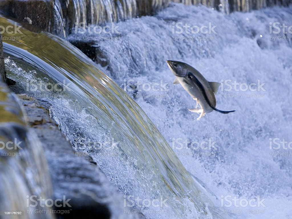 Salmon Jumping Out of Water and Attacked by Sea Lamprey stock photo