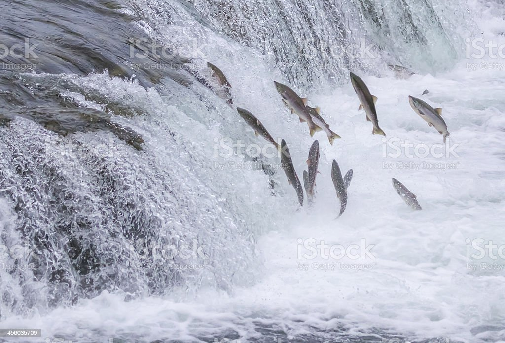 Salmon Jumping Up the Falls stock photo