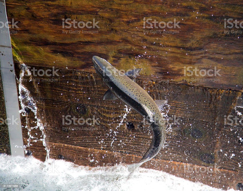 Salmon leaping - trying to head upstream stock photo