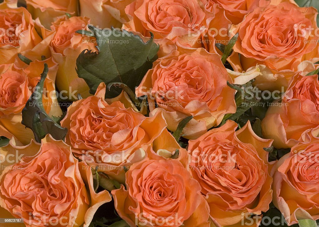 salmon pink roses stock photo