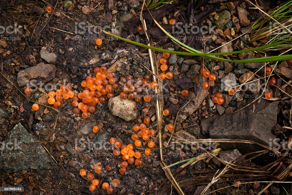salmon roe eggs stock photo
