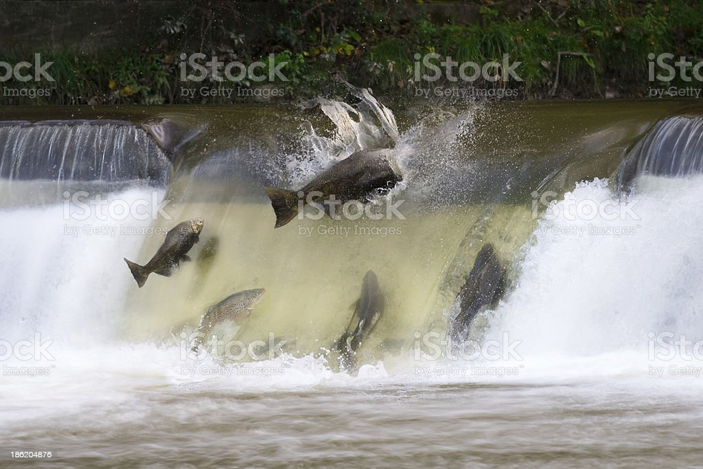 Salmon run stock photo