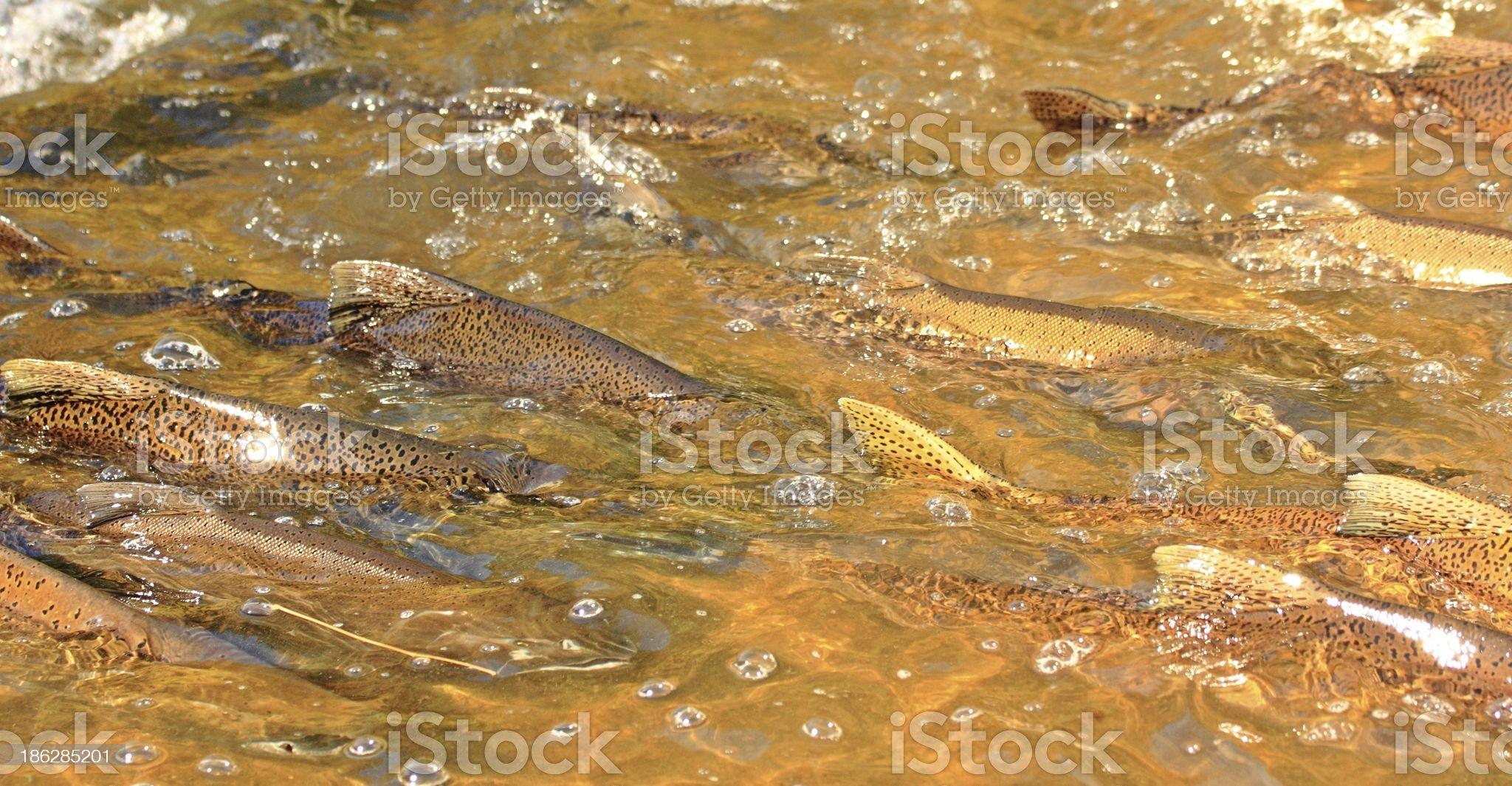 Salmon Run royalty-free stock photo