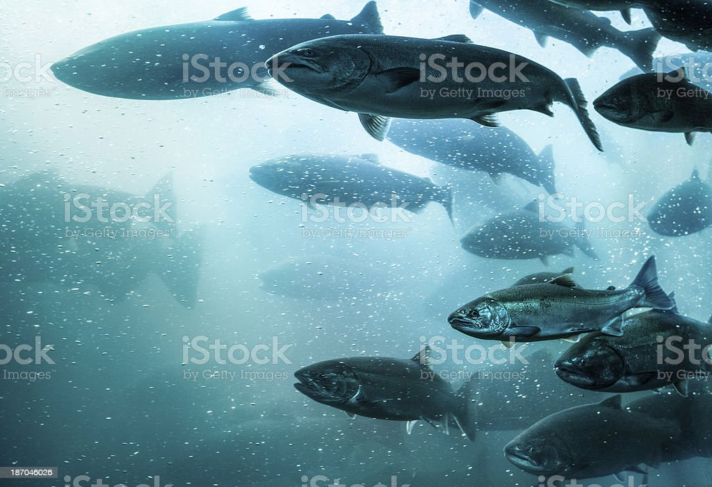 Salmon School Underwater. stock photo