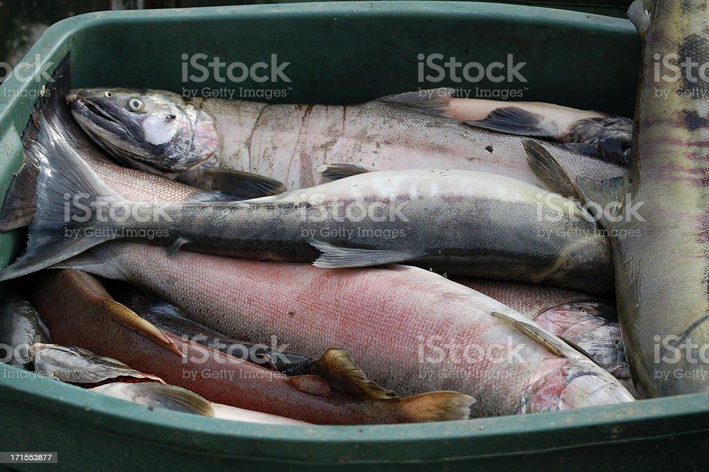 Salmon Season stock photo