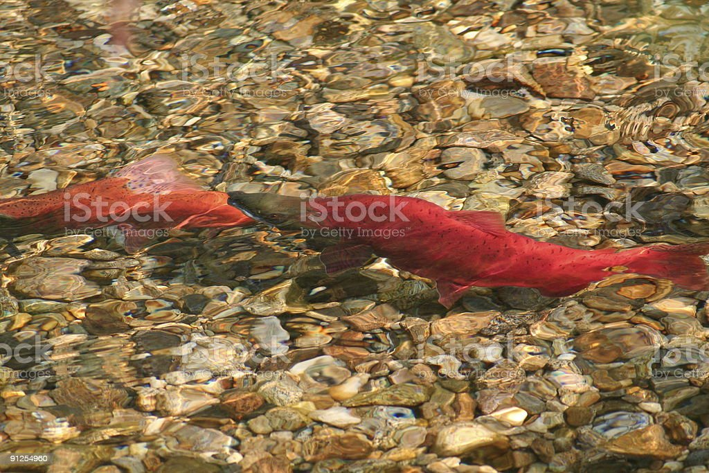 Salmon Spawning royalty-free stock photo