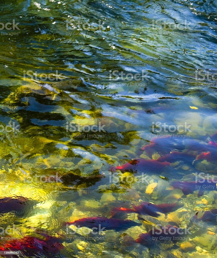 Salmon spawning time stock photo