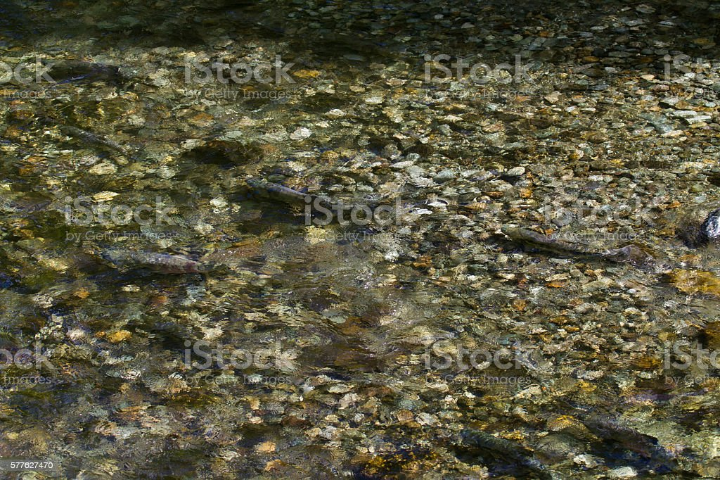 Salmon Swimming in Tiny Freshwater Clear Stream stock photo