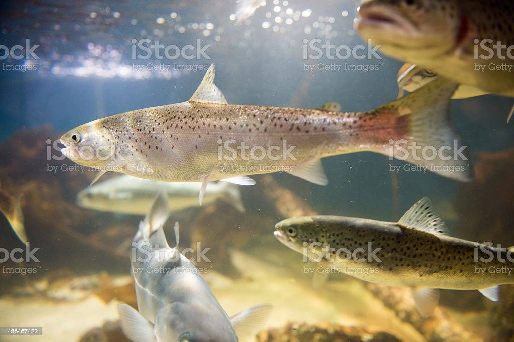Salmon swimming stock photo