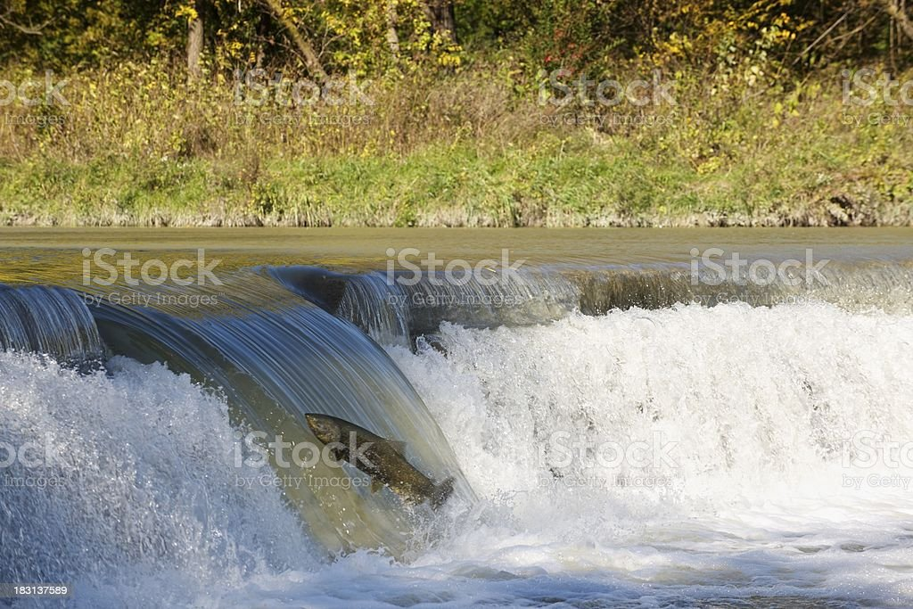 Salmon trying for the top royalty-free stock photo