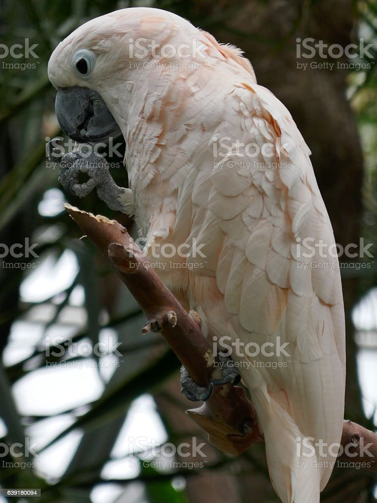 Salmon-crested cockatoo stock photo