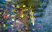 Salmon-run, spawning in autumn