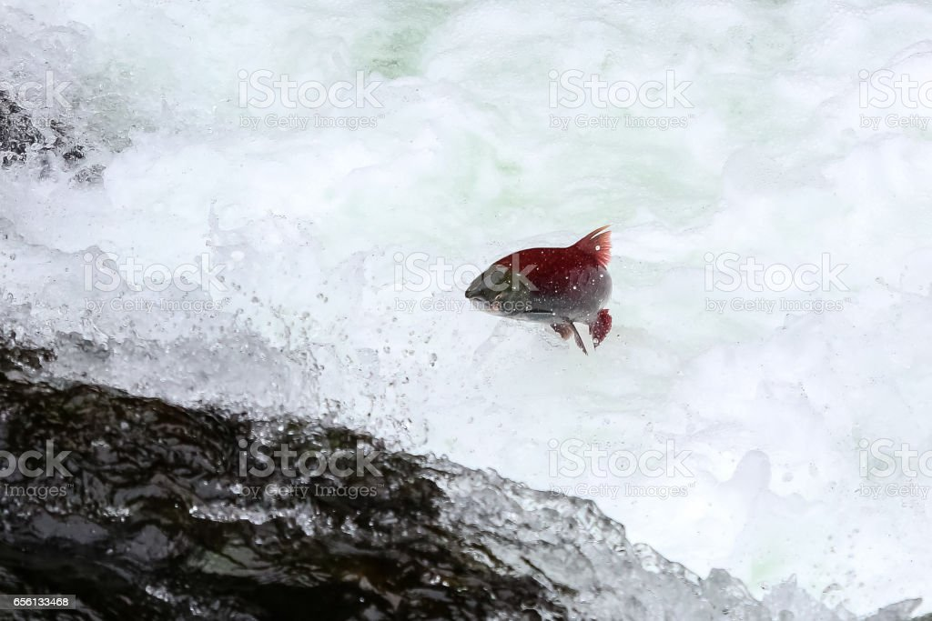 Salmons jumping upstream for spawning stock photo