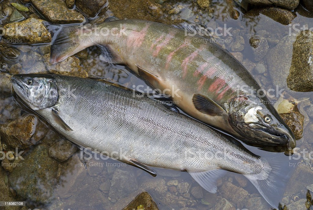 Salmons royalty-free stock photo